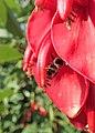 Erythrina crista-galli kz02.jpg