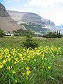 Erythronium grandiflorum prairie.jpg