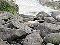 Espanola - Hood - Galapagos Islands - Ecuador (4871550082).jpg
