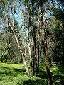Eucalyptus albens at Ilanot arboretum-RJP.jpg