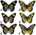 Euphaedra cyparissa adult males - ZooKeys-298-001-g002.jpg