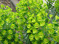 Euphorbia characias 2.JPG