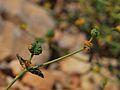 Euphorbia erinacea 1.jpg