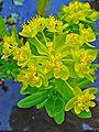 Euphorbia palustris 002.JPG