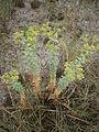 Euphorbia paralias 004.JPG