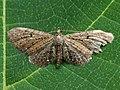 Eupithecia denotata - Campanula pug - Цветочная пяденица колокольчиковая (40235445874).jpg