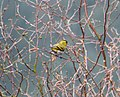 Eurasian Siskin Spinus spinus, male, Forest of Dean (33315679034).jpg