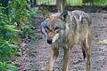 Europäischer Grauwolf (Canis lupus lupus) im Wolfcenter Barme (Dörverden) IMG 9027.jpg