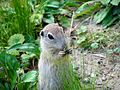 European Ground Squirrel.jpg