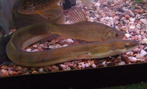 European eel in aquarium