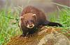 European polecat by Keven Law.jpg