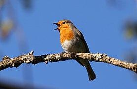 European robin, France.jpg