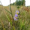 Eurybia hemispherica Tennessee.jpg