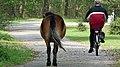 Exmoor pony op het fietspad in het bos.jpg