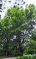 Fagus orientalis-dkrb(1) cropped.jpg