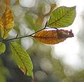 Fagus orientalis Lagodekhi1.jpg