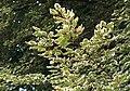 Fagus sylvatica purpurea tricolor.jpg