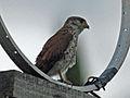 Falco newtoni -Morondava, Madagascar-4.jpg