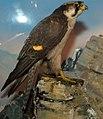 Falco peregrinus 19zz.jpg