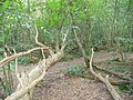 Fallen Trees, The Forest - geograph.org.uk - 564705.jpg