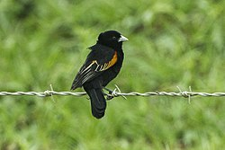 Fan-tailed Widowbird - Natal - South Africa S4E7618 (22861636101).jpg