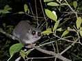Fat-tailed Dwarf Lemur, Kirindy, Madagascar (4337920875).jpg