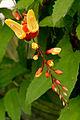 Fata Morgana, Thunbergia mysorensis.jpg