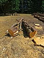 Felled pine tree logs at Hatfield Broad Oak, Essex, England 1.jpg