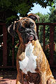 Female Brindle boxer.jpg