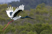 Female of Black-necked Stork.jpg
