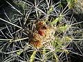 Ferocactus flavovirens (5753703875).jpg
