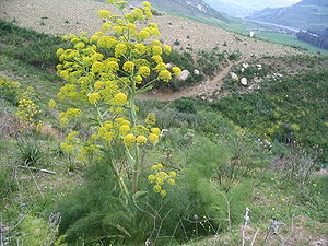 English: Giant fennel (Ferula communis) França...