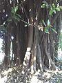 Ficus elastica stem.JPG