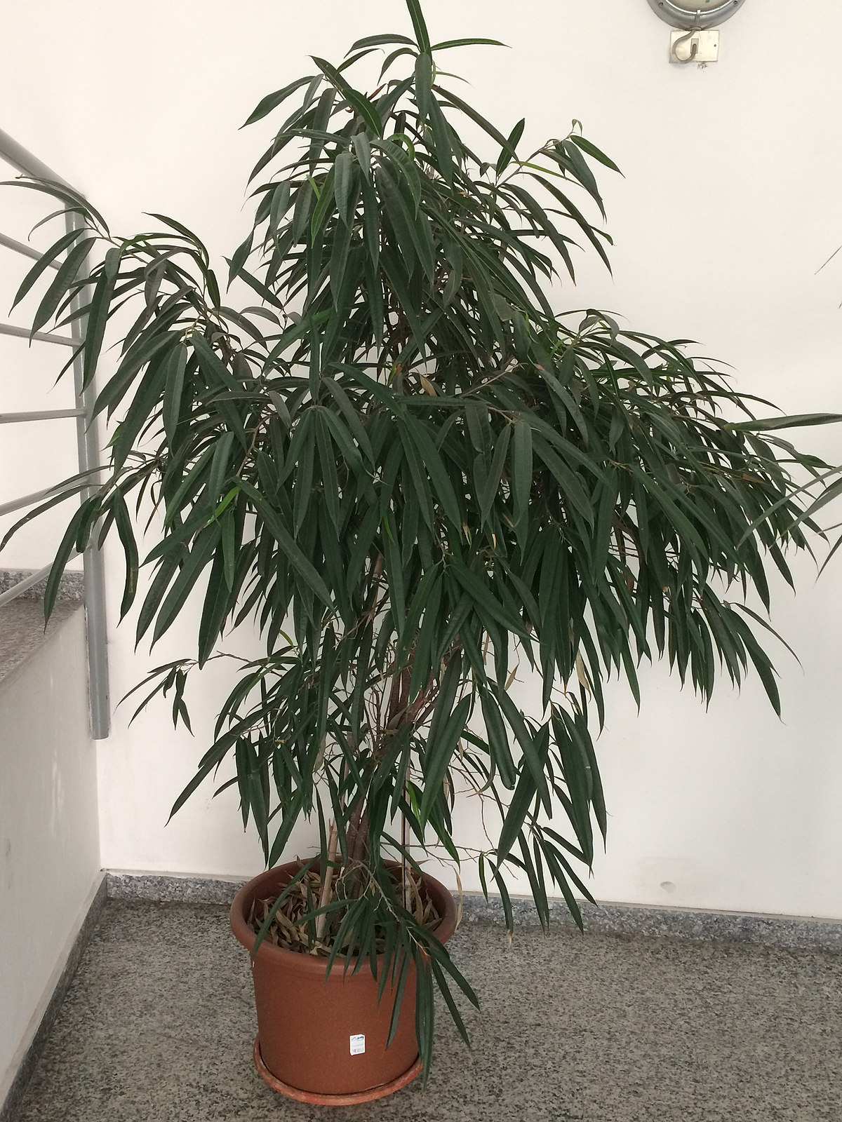 Ficus maclellandii Alii (Ficus binnendijkii Alii).jpg