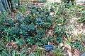 Ficus microcarpa - Marie Selby Botanical Gardens - Sarasota, Florida - DSC01198.jpg