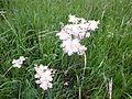 Filipendula vulgaris, NSG BR 012 Klotzberg.jpg