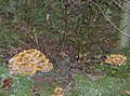 Fine fungi - geograph.org.uk - 608916.jpg