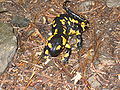 Fire salamander.jpg