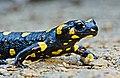 Fire salamander (Salamandra Salamandra).jpg