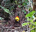 Flame Bower Bird (Sericulus ardens) (48842510722).jpg