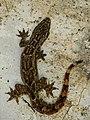 Flat-tailed Gecko (Hemidactylus platyurus) 1.jpg