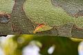 Flatheaded Mayfly (Stenacron cf. interpunctatum) (14911907812).jpg