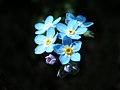 Fleur de Myosotis.jpg