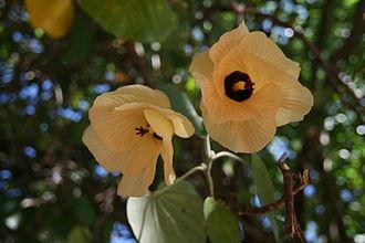 Hibiscus tiliaceus - Sea hibiscus from Tahiti