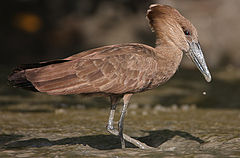 Flickr - Rainbirder - Hamerkop (Scopus umbretta).jpg
