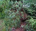 Flickr - brewbooks - Manzanita in rain (1).jpg