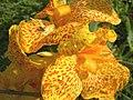 Flor de Lírio Iris flower (299052351).jpg