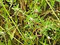 Flora from Madayipara DSCN2608.jpg