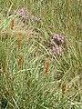 Flore des Hautes Fagnes01.jpg