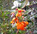"""Flores de """"Berberis ilicifolia"""". Plantas crecidas en el Parque Nacional de Tierra del Fuego, Ushuaia, Argentina.jpg"""